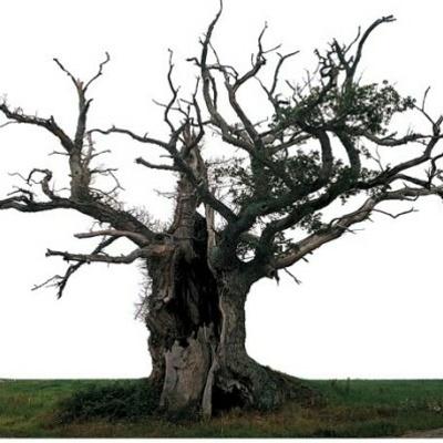 Le chêne séculaire